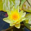 Jigsaw: Yellow Lily